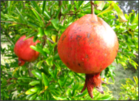 pomegranate_tree