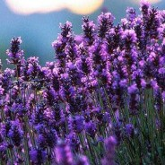 About Lovely Lavender