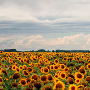 Sunflower Oil – The Natural Skin Care Oil