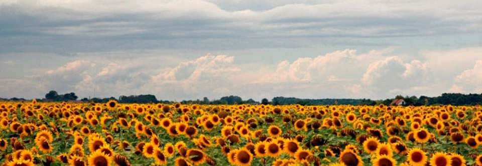 Sunflower – Suncokret